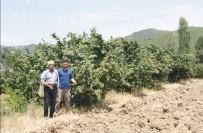 FINDIK HASADI - Karadeniz'de Değil, Aydın'da Üretiliyor