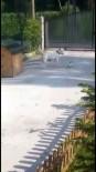 KÖPEK - Küçük Köpeğin Büyük Köpeğe Oyunu Kamera Tarafından Kaydedildi