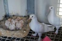 Şampiyon Taklacı Güvercinler Seçiliyor