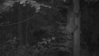 ORMAN VE SU İŞLERİ BAKANLIĞI - Yavru Ayının Ağaca Tırmanmayı Öğrendiği Anlar Foto Kapanda
