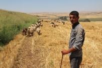 BÜYÜKBAŞ HAYVAN - Batman Üniversitesi'nde Diplomalı Çobanlar Yetişecek