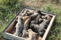 KÖPEK - Kangal Cinsi Köpek Tek Batında 17 Yavru Doğurdu