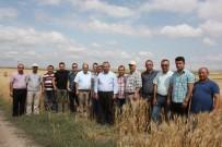 KIRAÇ - Yeni Geliştirilen Buğday Çeşitleri