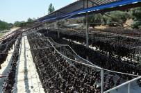 CANER YıLDıZ - Amerika'nın 'Silikon Vadisi'ne Nazilli'den Rakip; Patlıcan Vadisi