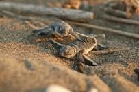 DOĞU AKDENİZ - Başkan Tarhan, Halkı Yavru Deniz Kaplumbağalara Karşı Uyardı