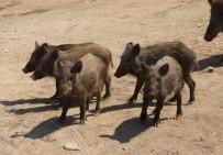 TARIM ÜRÜNÜ - Çiftçiler Domuzlardan Şikâyetçi