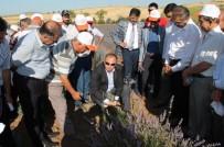 EROZYONLA MÜCADELE - Turhal'da İlk Lavanta Hasadı Yapıldı