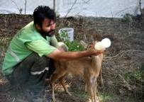 DOĞAL YAŞAM PARKI - Annelerinin Terk Ettiği Karacalar Biberonla Besleniyor