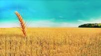 TARIM SİGORTASI - Buğdayda Kuraklık Ödemeleri Başladı