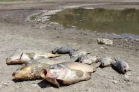 ÖLÜ BALIK - Göletteki Yüzlerce Balık Oksijensizlikten Öldü