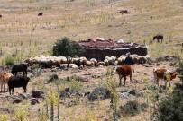 KOZLUCA - Yaylalarda Yaşanan Susuzluk Nedeniyle Hayvan Ölümleri Başladı
