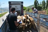 Tatvan'da 22 Genç Çiftçiye 132 Büyükbaş Hayvan Dağıtıldı