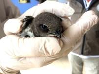 Yaralı Ebabil Kuşu Tedavisinin Ardından Doğaya Salındı