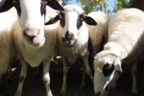 DOĞUM ORANI - Göçü Engellemek İçin 63 Koyun Dağıtıldı