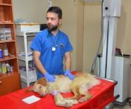 SOKAK KÖPEĞİ - Hayvanseverin Sahiplendiği Felçli Köpek Tedavi Altına Alındı