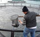 Karadenizli Balığı Kafeslerden Karşılıyor
