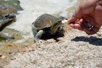 BOTANİK BAHÇESİ - Kampüsteki Kaplumbağaları Dekan Besliyor