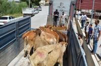 Adilcevaz'da 12 Genç Çiftçiye 72 Büyükbaş Hayvan Dağıtıldı