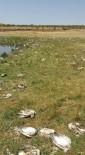 İNCİ KEFALİ - Van'da Martı Ölümleri