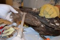 YIRTICI KUŞ - Yırtıcı Kuşlara Takip Amaçlı Halka Takılıyor