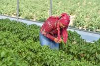 KARAHıDıR - Genç Çiftçi Projesinde İlk Mahsul Yüzleri Güldürdü