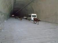 OVİT TÜNELİ - Ovit'teki Çığ Tüneli'ni İlk Onlar Kullandı
