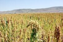 MEHMET YıLDıRıM - Bingöl'de İlk Kez Kinoa Bitkisi Ekildi