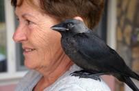 MUHABBET KUŞU - Bu Karga Kendini Muhabbet Kuşu Sanıyor