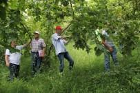 Trabzon'da 2017 Ürünü Fındık Rekoltesi  Belirleniyor