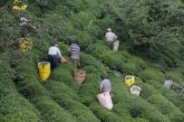 SÜRGÜN - Erken Toplanan Yaş Çay Yaprakları Çayda Kaliteyi Yükseltti