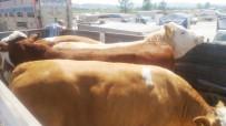 KARANTINA - Süt Üreticileri Birliği Ortaklarına Düve Dağıttı