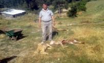 Köye İnen Kurtlar, 80 Koyunu Telef Etti