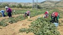 KAYMAKÇı - Yerli Tarım İşçisi Bulunmayınca Suriyeliler Devrede