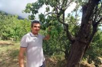 Asırlık Armut Ağacında Dört Farklı Lezzet
