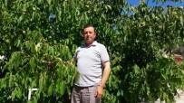 ÇAMKÖY - Şaphane'de Ceviz Rekoltesi Yüksek Bekleniyor