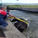 Sulama Kanalına Düşen İneği İtfaiye Kurtardı