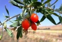 SELENYUM - Mutluluk Meyvesi Goji Berry Van'da Üretildi