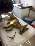 KEMERBURGAZ - Yaralı Tilki Tedavi Altına Alındı
