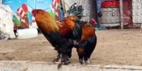 TAKVİM - Kümes Hayvancılığı Üretimi İstatistikleri Açıklandı