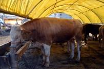 KURBAN PAZARI - 1 Ton 150 Kiloluk 'Ağrı'nın Gülü' 16 Bin Liraya Satışa Çıktı