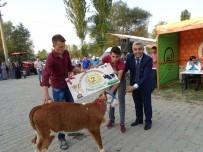 DıŞ GÖRÜNÜŞ - Hisarcık'ta 'En Güzel Buzağı' Yarışması