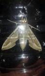 VAN YÜZÜNCÜ YıL ÜNIVERSITESI - 'Mekik Kelebeği' Van'da İlk Defa Kayıt Altına Alındı