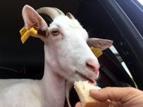 Yanından Ayırmadığı Keçileri İle Tatile Çıktı