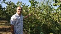 FINDIK HASADI - Düzce'de İlginç Fındık Hırsızlığı