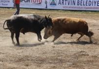 Ege'nin Şampiyon Boğaları Artvin'de Türkiyebirinciliği İçin Arenaya Çıktı