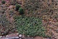 ALTINORDU - Fındık Bahçelerinde Damla Sulama Farkı