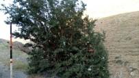 CAİZ - Dağ Başındaki Ağacı Dilek Ağacına Çevirdiler