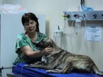 ULUDAĞ ÜNIVERSITESI - Zehirlenen Köpeği Taksi İle Hastaneye Yetiştirdi