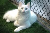 PEYAMİ BATTAL - Van Kedileri Sağır Mı ?