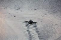 CARETTA CARETTA - Hatay'da Yavru Caretta Carettalar Denizle Buluştu